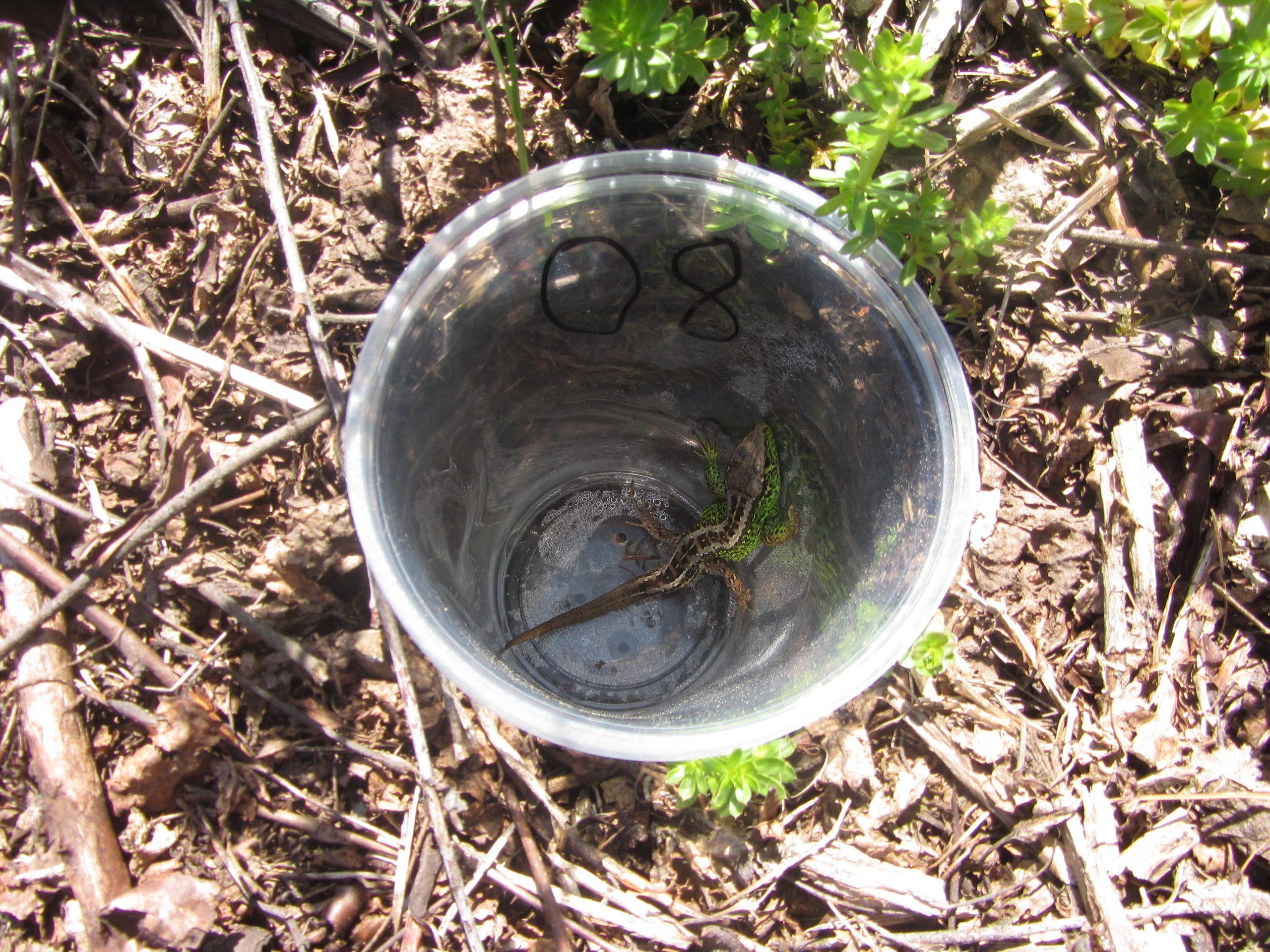 Bodenfalle Zauneidechse