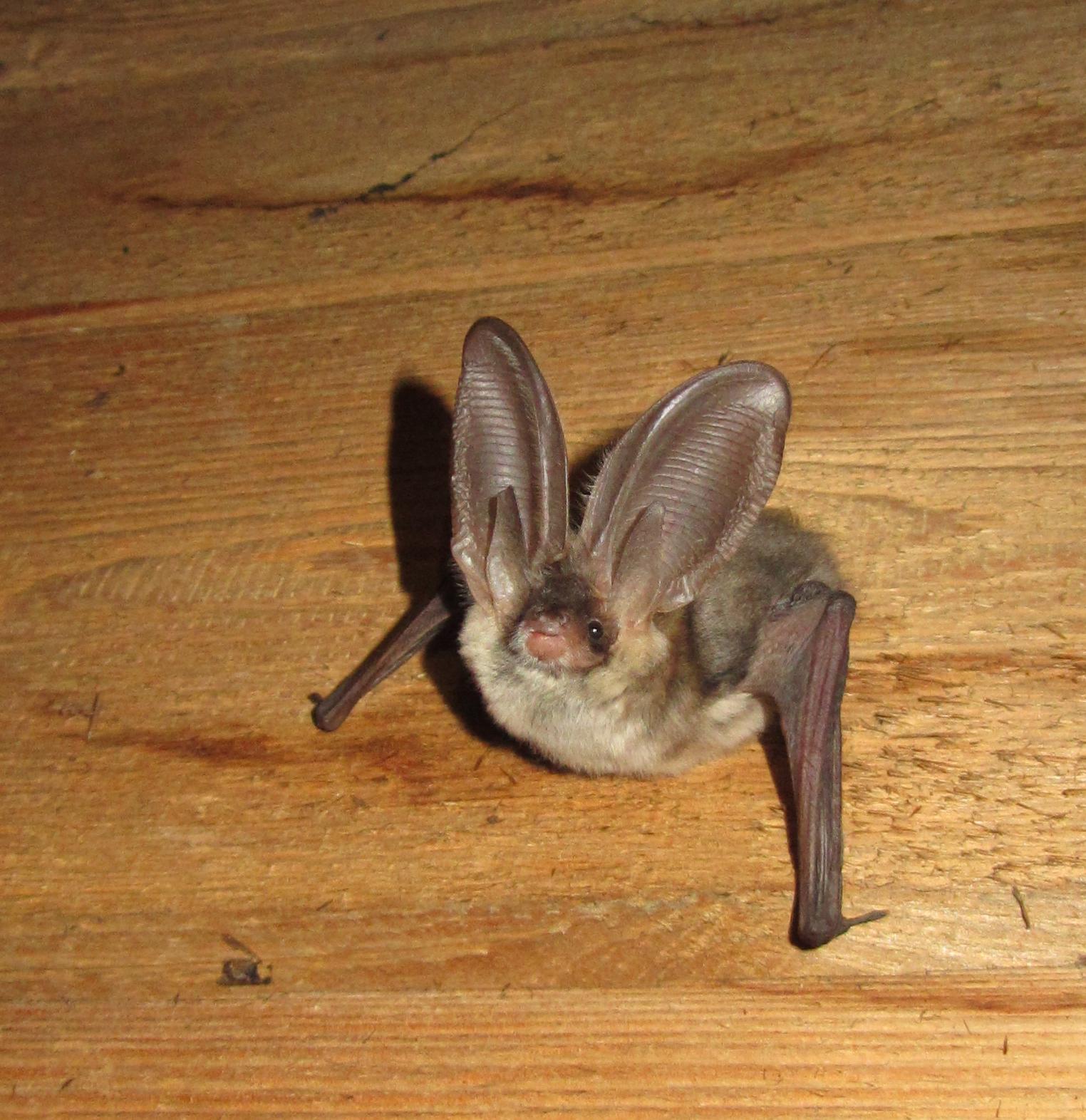 Graues Langohr Fledermaus Gutachten