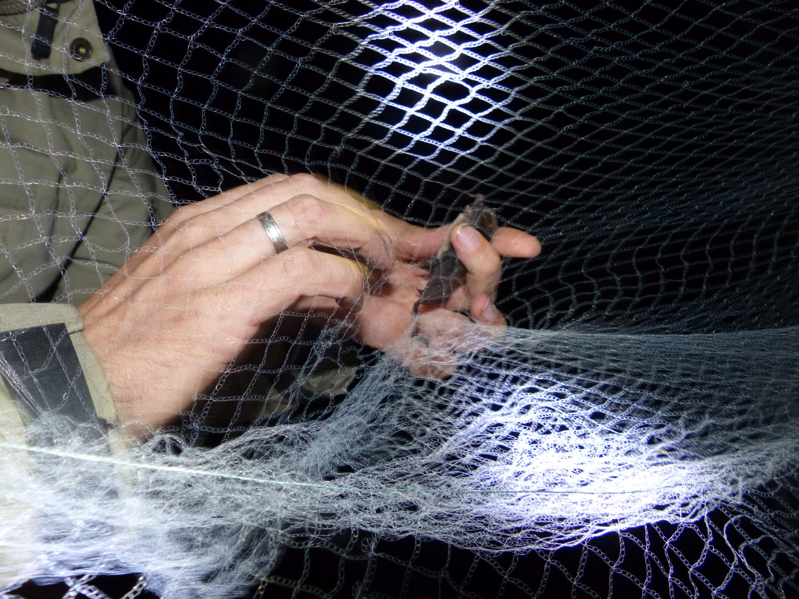 Netzfang Fledermäuse Bayern