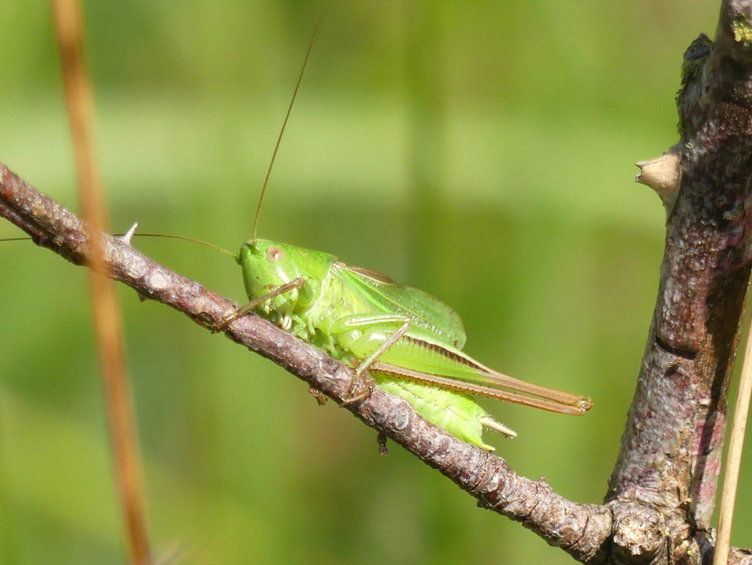 Heuschreckenkartierung - Zweifarbige Beißschrecke