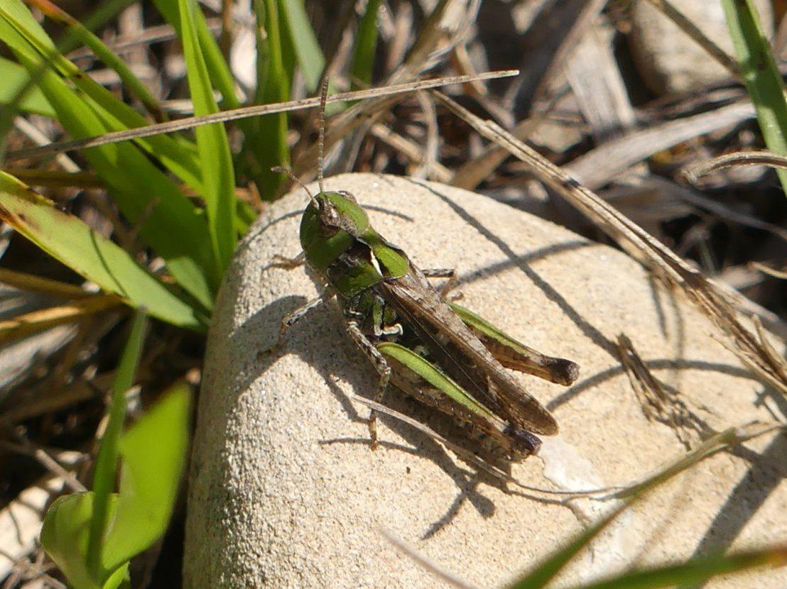 Heuschreckenkartierung - Keulenschrecke